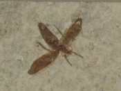 Fossilized Fly