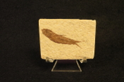 Small Fish Fossil