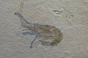 Fossilized Shrimp