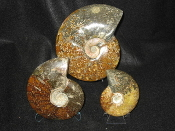 Polished Ammonites