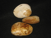 Fossilized Clams