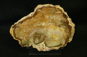 Madagascar Petrified Wood Slab