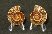 Small Ammonite Pair