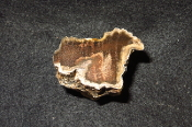AZ Petrified Iron Wood Limb