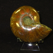 Fire Ammonite