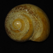Fossilized Snail Shell